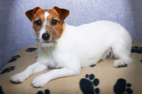 jack russell terrier mixed breeds - photo #27