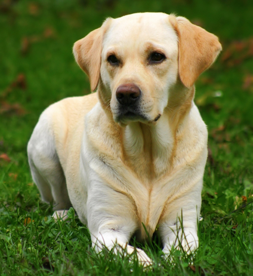 i wanna pet labrador retriever labrador retriever 500x546